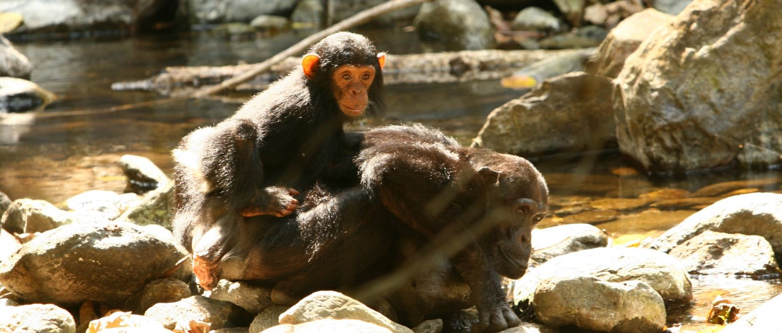 Chimps at Gombe National Park in Tanzania